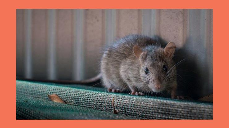 Penyebab Tikus Berkeliaran di Rumah